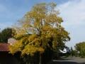03_ Gleditsia triacanthos Sunburst  Gold-Gleditschie