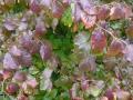 10_ Parrotia persica Vanessa  Eisenholzbaum Vanessa