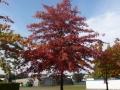 11_Quercus rubra  Rot-Eiche  Amerikanische Rot-Eiche