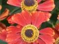 03_Bluetenstaude_Helenium 'Moerheim Beauty' Garten-Sonnenbraut