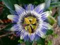 09_Passiflora caerulea  Blaue Passionsblume_Bluete_Nahaufnahme