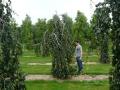 01_fagus_slyvatica penula_300-400 cm_mdb