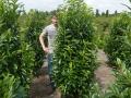 08_Kirschlorbeer_prunus laurocerasus genolia 200-225 cm mdb