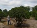 10_Portugiesischer Kirschlorbeer_prunus lusitanica angustifolia 250-300 cm schirmform