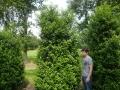 12_Portugiesischer Kirschlorbeer_prunus lusitanica angustifolia 300-350 cm bei 150 cm breite