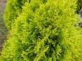 14_Lebensbaum_thuja-occidentalis-golden-smaragd-nadel