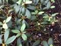 01_Rhododendron_Naehrstoffmangel_Eisenmangel