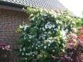 05 Cornus kousa var. chinensis  Chinesischer Blumen-Hartriegel
