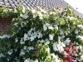 06 Cornus kousa var. chinensis  Chinesischer Blumen-Hartriegel