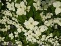 08 Cornus kousa 'Schmetterling'  Japanischer Blumen-Hartriegel