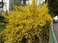 12 Forsythia intermedia 'Spectabilis'  Forsythie 'Spectabilis'  Goldglöckchen 'Spectabilis'