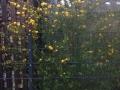 14 Kerria japonica 'Pleniflora'  Gefüllter Ranunkelstrauch