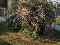 16 Kolkwitzia amabilis  Kolkwitzie  Perlmuttstrauch