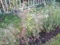 Liguster vulgare Atrovirens / Wintergrüne Liguster