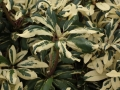 03_Rhododendron_Carolina_Spring_
