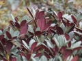 05_Rhododendron_neriiflorum_Burletta