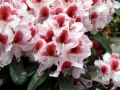 02_Rhododendron_mit_weiss-roter_Blüte_Belami