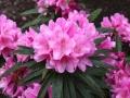 04_Rhododendron_mit_rosa_Bluete
