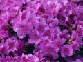 05_Rhododendron_mit_hell-violetter_Bluete