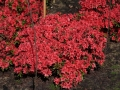 09_Rhododendron_mit_strahlend_roter_Bluete