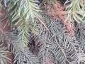Serbische Fichte / Picea Omorika