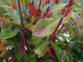 Blattflecken an Glanzmispel / Photinia Fraseri Red Robin