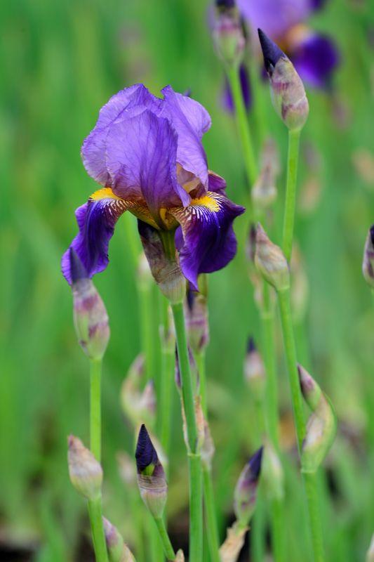 05_ Iris barbata-Elatior 'Alcazar' Hohe Schwertlilie