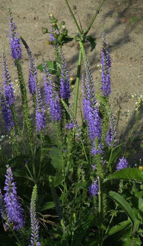 10_Veronica spicata 'Romiley Purple' Ehrenpreis