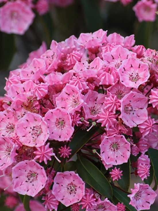 08_Kalmia latifolia Pink Charme_Lorbeerrose_Berglorbeer_Pink Charme