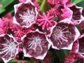 03_Kalmia latifolia Kaleidoscope_Lorbeerrose_Berglorbeer_Kaleidoscope