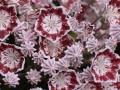12_Kalmia myrtifolia Minuet_Lorbeerrose_Berglorbeer_Minuet