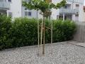 Platanus acerifolia 'Dachform / Sternformen'