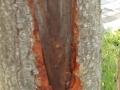 Schaden an Rinde der Purpur-Erle