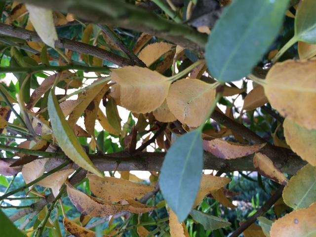 Kirschlorbeer Bekommt Gelbe Blätter portugiesischer kirschlorbeer bekommt gelbe blätter was können die