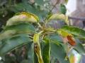 02_Prunus_Angustifolia_Mehltau-Pilz
