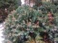 Gartenbonsai_Juniperus_Wacholder (3)