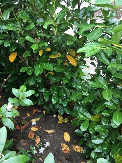 Kirschlorbeer Bekommt Gelbe Blätter kirschlorbeer bekommt gelbe blätter müssen wir was unternehmen