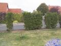 02_Luecken_in-Thuja-Hecke