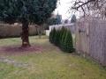 Thuja beim Kunden im Garten