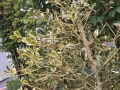 Ilex_Golden_King_trockene_Blaetter (2)
