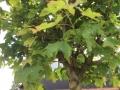 Kugelahorn (1)