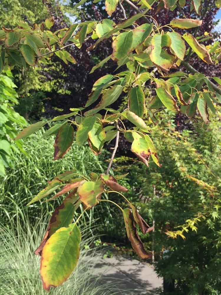 amelanchier arborea robin hill felsenbirnen wachsen. Black Bedroom Furniture Sets. Home Design Ideas