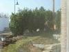 KirschlorbeerPrunus laurocerasus \'Reynvaanii\' 200-250 cm Sol. 51 St.