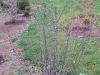 Magnolie Stellata 125-150 cm