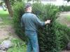 Taxus Baccata auf Rügen
