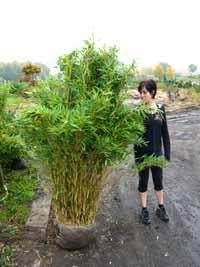 bambus im rollt bl tter ein ursachen und tipps fragen bilder pflanz und. Black Bedroom Furniture Sets. Home Design Ideas