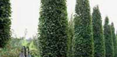 Hainbuche Carpinus Betulus Frans Fontaine