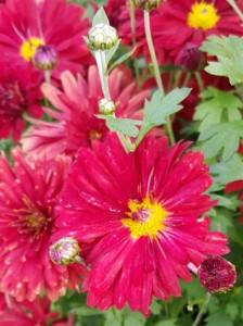 Chrysanthemum hortorum 'Red Velvet' / Winteraster 'Red Velvet'