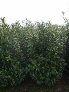 Prunus laurocerasus 'Caucasica' / Kirschlorbeer 'Caucasica'