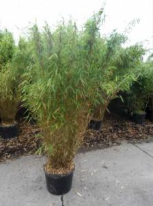 Bambus Fargesia Muriela Jumbo